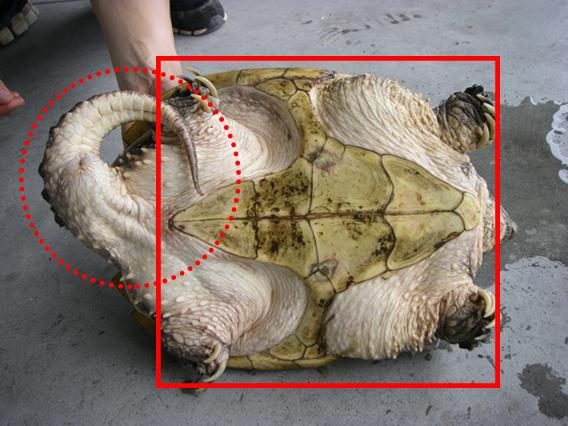 十字型の腹甲、尾は他のカメより長い。