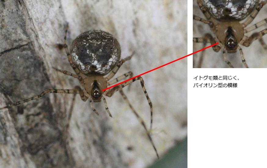 ブラジルイトグモ|東京都環境局「気をつけて!危険な外来生物」